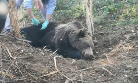 Urs eliberat dintr-un laț la Fitionești